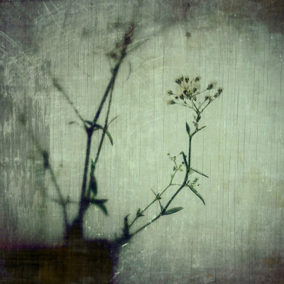 iPhoneography - gypsophila